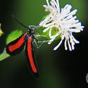 Arctiid moth