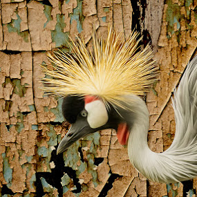Crowned Crane Consistency by Bill Tiepelman - Animals Other ( saint louis zoo, sharp, flowing, texture, crown, big bird, wildlife, zoo pics, feathers, portrait, bird, pointy, large bird, east african crowned crane, details, zoo, zoo photography, zoo photos, beak, zoo animals, stl zoo, peeling, profile )