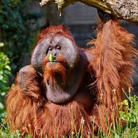 Bornean Orang utan by Dejan Deko - Animals Other Mammals ( swinging, shaggy, animal arm, phoenix park, hairy, tropical rainforest, tree, zoo, nature, animals in the wild, pensive, facial expression, northern ireland, animal nipple, orange, forest, fun, beauty in nature, mammal, rainforest, young animal, climbing, living organism, environment, primate, island of borneo, clambering, republic of ireland, playful, europe, wildlife, beauty, cute, looking, ape, sumatra, moving up, fur, orangutan, animal hair, animal, park, bornean;, human face, red, eating, dublin - ireland, brown, monkey, utan )