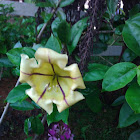 Cup of Golden Vine, Golden Chalice Vine or Hawaiian Lily