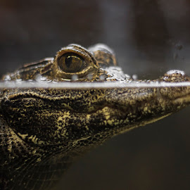What are you looking at? by Matthew Plummer - Animals Reptiles ( macro, shallow dof, crocodile, reptile, closeup,  )