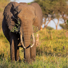 Elephant in Tarangire by Susan Koppel - Animals Other Mammals ( elephant, tanzania, africa )