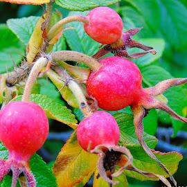 ROSE FRUITS by Wojtylak Maria - Food & Drink Fruits & Vegetables ( wild, nature, fruits, roses, seeds, flower )