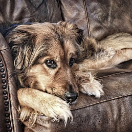 Layla by Jim Antonicello - Animals - Dogs Portraits ( couch, family, relaxing, dog, portrait )