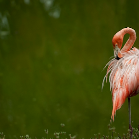 Flamingo by Cristobal Garciaferro Rubio - Animals Birds ( bird, flamingo, bokeh )