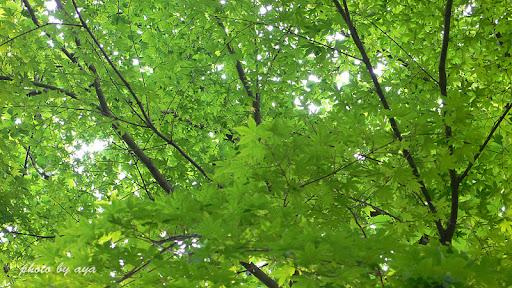 新緑の木々たち 1