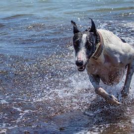 Greyhound by Rick Lussi - Animals - Dogs Running ( water, splashing, action, greyhound, dog )