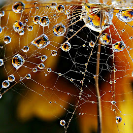The Game At The Magic Net by Marija Jilek - Nature Up Close Natural Waterdrops ( a seed, goat-beard, plants, natural waterdrops, nature up close, (magic) net, game, waterm drops )
