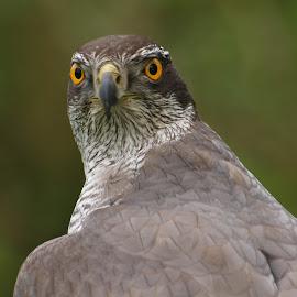 The Goshawk by Garry Chisholm - Animals Birds ( bird, garry chisholm, nature, wildlife, falcon, prey, raptor, goshawk, hawk )