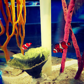 clowning around by Lindsay Wilfong - Animals Fish ( water, clown, fish, lenses of our lives photography, nemo )