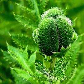 poppy bud by Bernarda Bizjak - Nature Up Close Gardens & Produce
