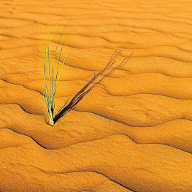 Small plant in Sahara Desert by Mel Dicker - Landscapes Deserts