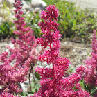 Pink Astilbe (or False Spiraea)
