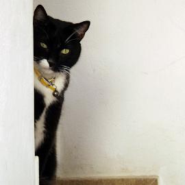 Golondrino by Ana Cárdenas O - Animals - Cats Portraits ( cats, animals, nature, hidden, pets, white, wall )