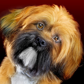 Small dog portrait (New backdrop gradient) by Jamie Keith - Animals - Dogs Portraits