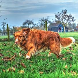 donna by Rob van der Meer - Animals Other Mammals ( hdr, holland, buurmalsen, runningdog, dog )