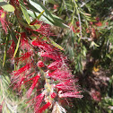 Dawson river bottlebrush
