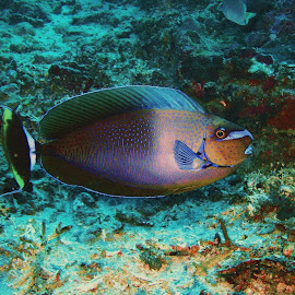 The Fish by Phil Bear - Animals Fish ( bali, coral, reef, indonesia, fish )