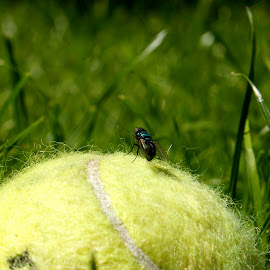 flyball by Bob Polkinghorn - Sports & Fitness Tennis ( ball, grass, fly, green, yellow )