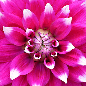 by Saptarshi Datta - Flowers Single Flower ( pink, flower )