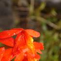 Ground Rooting Epidendrum