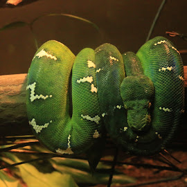 Snake by Michael Loi - Novices Only Wildlife ( snake, green,  )
