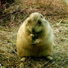 Groundhog, woodchuck, or land-beaver