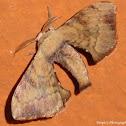 Bombycid Silk Moth