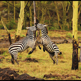 Stripes at Cross by Tejaswi - Animals Other Mammals ( nature, wildlife, kenya, zebra, africa )