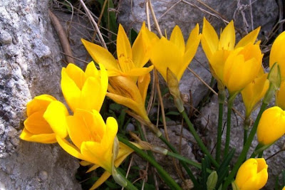 Sternbergia lutea, lily-of-the-field, winter daffodil, winter-daffodil, Yellow Star Flower, Zafferanastro giallo