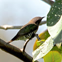 Golden Bronze Cuckoo