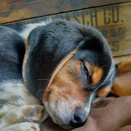 max by Kathy Robinson Zahn - Animals - Dogs Portraits