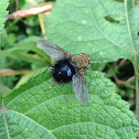 Tachinidae fly