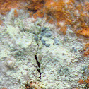 Frosted Grain-spored Lichen
