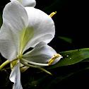 White ginger lily