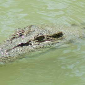 Crocodile by Mark Vegera - Animals Reptiles (  )