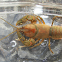 Common Crayfish