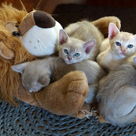 TribeChristal´s litter A by Krista Nurmi - Animals - Cats Kittens (  )