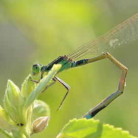 Damsel...2 by Sachin Jain - Novices Only Macro ( pashan lake, damselfly, insects, pune, odonata )