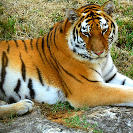 Tiger 2 by Shelley Wilson - Animals Lions, Tigers & Big Cats