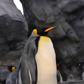 Proud Penguin by Stephanie Parmley Givens - Animals Birds (  )