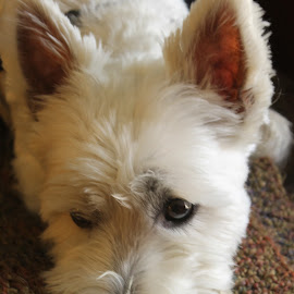 Einstein  by Deborah Arin - Animals - Dogs Portraits