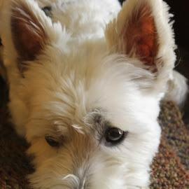 by Deborah Arin - Animals - Dogs Portraits