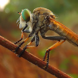 robber fly by Rama Smookerr - Animals Insects & Spiders ( animals, macro, macro photography, macro mania, macro insects, macro world )