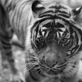 Tiger Tiger by Natasha Giles - Animals Lions, Tigers & Big Cats ( big cat, animals, big cats, tiger, black and white,  )