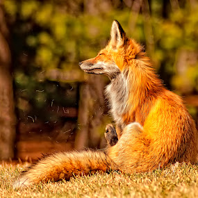 fox scratching..... by Benoit Beauchamp - Animals Other Mammals ( roux, mammiferes, fox, renard, animal )