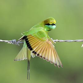 GREEN BEE EATER by Hemen Shah - Animals Birds