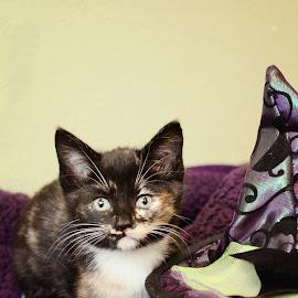 Halloween Kitty by Meaghan Estes - Animals - Cats Kittens ( kitten, purple, tortie, whiskers, tortoiseshell, halloween, hat )