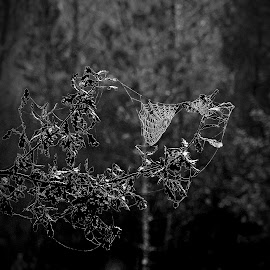 Weak links. by Miguel Silva - Nature Up Close Webs ( b&w, tree, miguel silva, nature close up, viseu, portugal, branches, spider web )