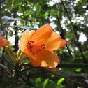 Javan Rhododendron